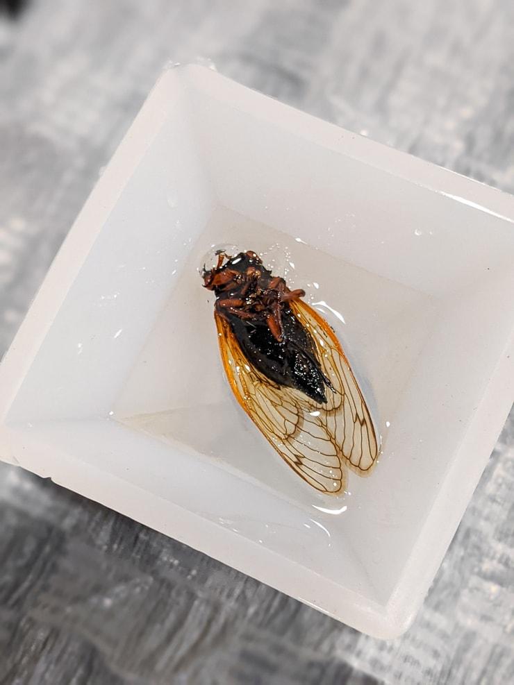 adding a cicada to resin in a silicone mold