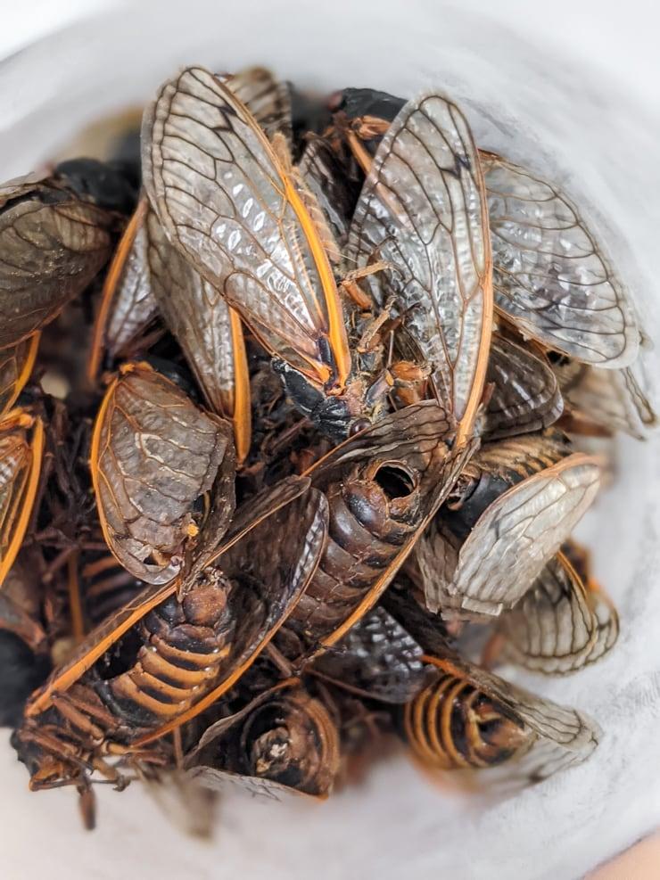 dead cicadas freezing in a jar