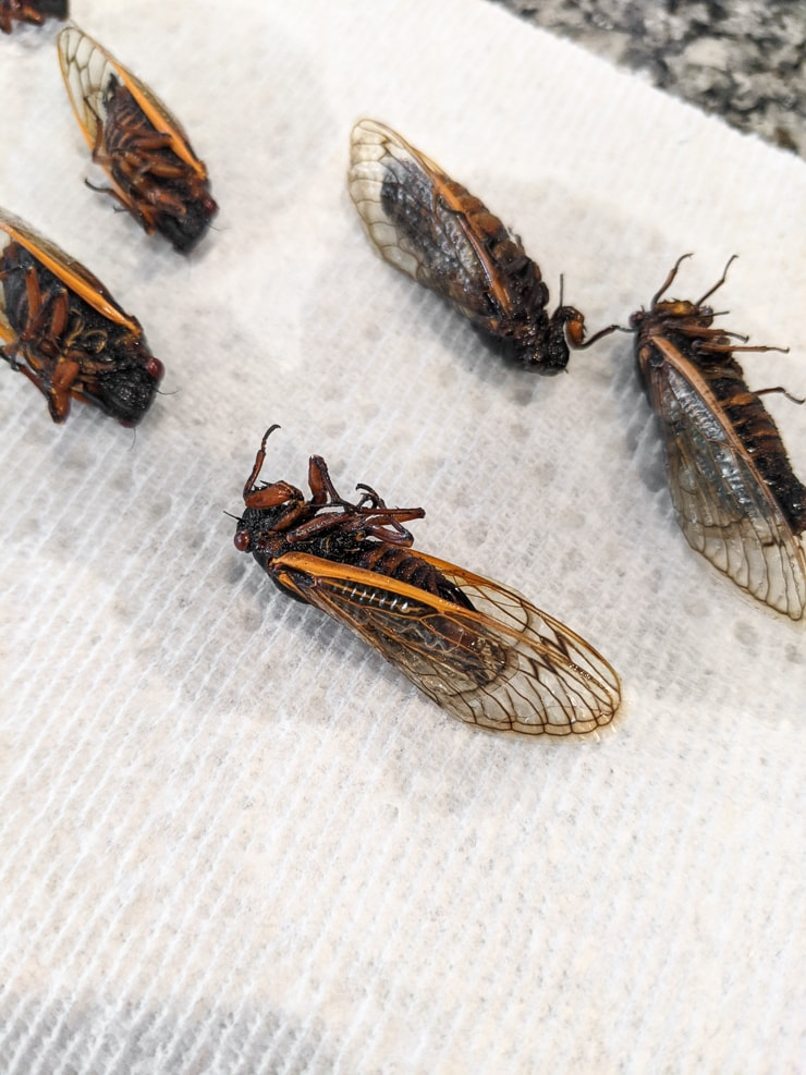 letting cicadas dry after soaking them in alcohol to preserve them