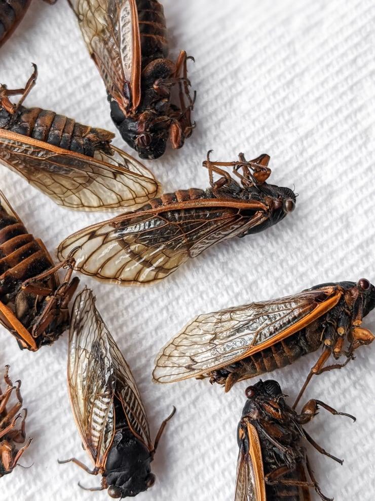 dead cicadas on a paper towel