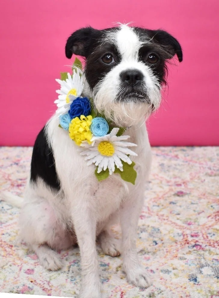 black and white terrier with felt flower collar